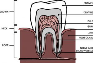 A Root Canal Dentist In Honolulu: Explaining The Basics Of A Root Canal